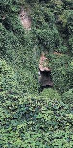 Kuzu, zwana również kudzu - niezwykła roślina - oczyszcza organizm z toksyn, zwalcza nałogi, wzmacnia odporność